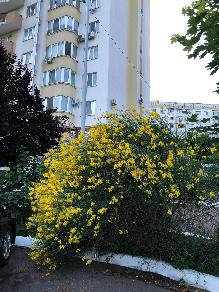 Spanish Broom in flower in Chisinau