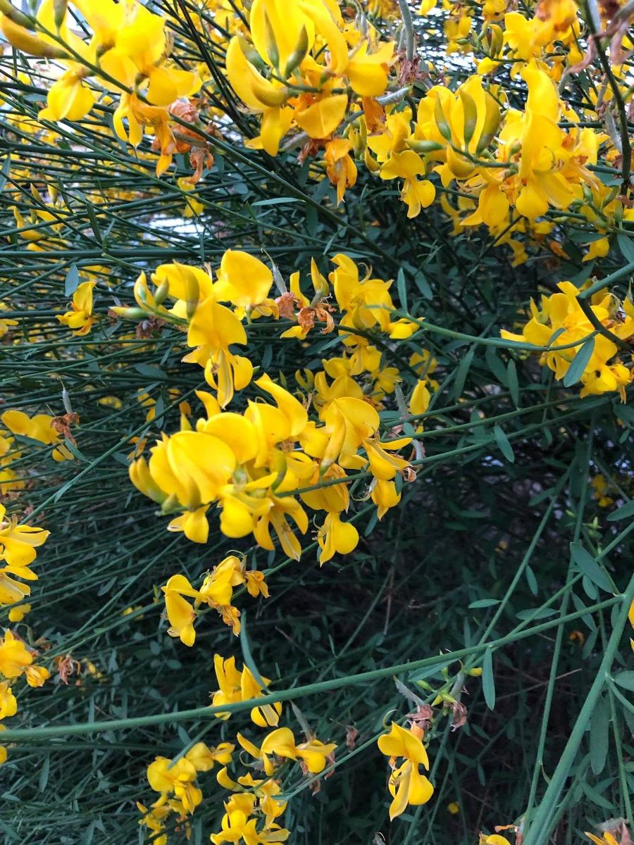 Дрок Испанский цветет в городе Кишинев