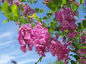 Acacia Purple