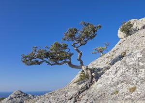 Crimean pine