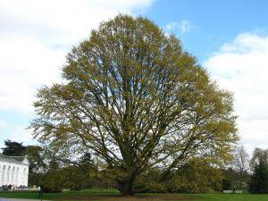 Chestnut-leaved Oak
