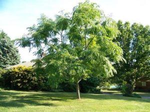 Бундук двудомный или Кентукийское Кофейное Дерево