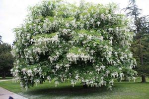 Акация белая (Robinia pseudoacacia L.)