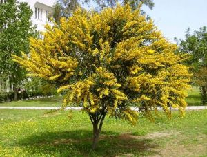Карагана Древовидная (Жёлтая Акация)