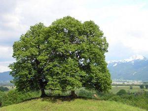 Tilia × europaea