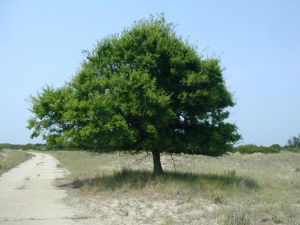 Celtis Occidentalis in the Stepe