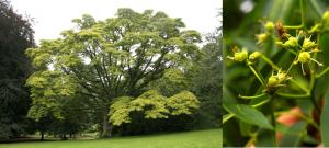 Fellodendron de pe Amur