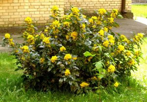 Mahonia or Oregon Grape