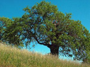 Caucasian Oak (aka Persian, Oriental Oak)