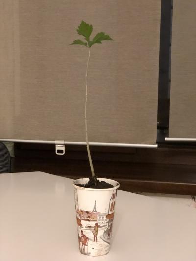 Istoria unui puiet de Hibiscus, care crește într-un pahar de unică folosință