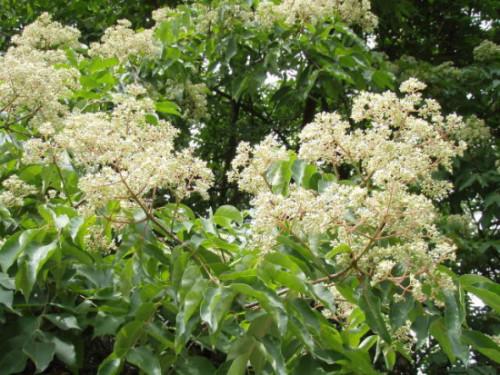 Euodia-in-Flower