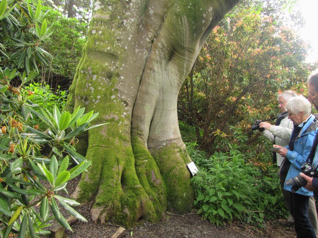 Дерево посаженное в 1920г. в Шотландии