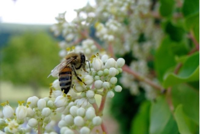 euodia-with-bees