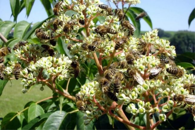 euodia-w-bees